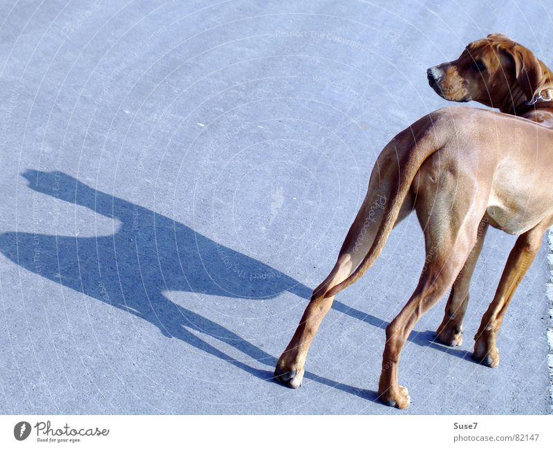 Schattenhund Hund Tier Asphalt stoppen Säugetier Zurückblicken