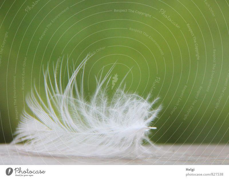 federleicht... Natur Tier liegen ästhetisch schön einzigartig klein natürlich grau grün weiß Vergänglichkeit Feder Leichtigkeit filigran zart weich Farbfoto