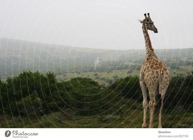 Giraffe am Morgen Natur Wolken Tier Wald Landschaft Nebel Umwelt Horizont Sträucher Afrika Wildtier Hals Osten Steppe Safari Schleier