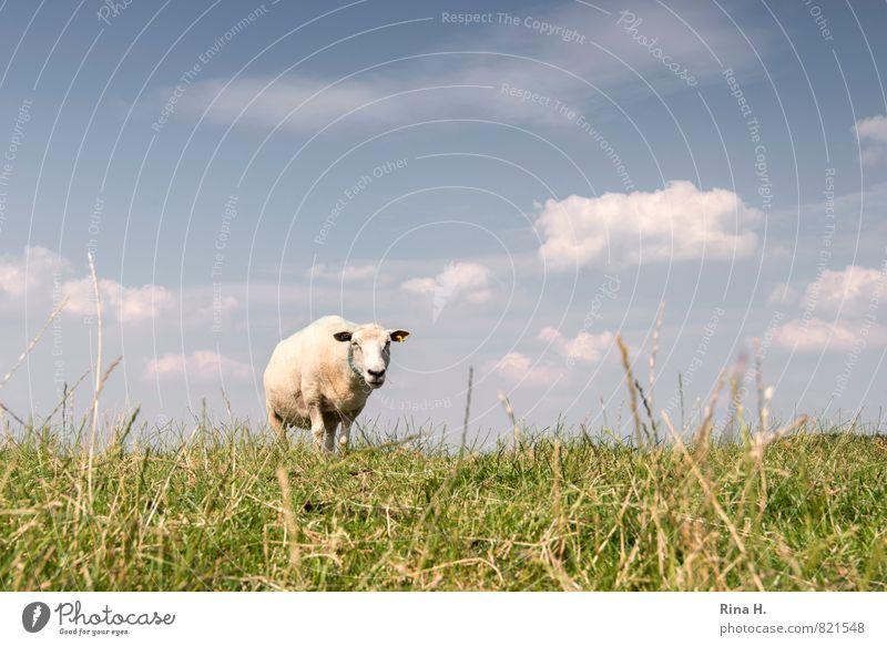Was guckst du Natur Himmel Wolken Sommer Schönes Wetter Gras Tier Nutztier 1 beobachten Fressen stehen hell Wärme Deich Schaf Farbfoto Außenaufnahme