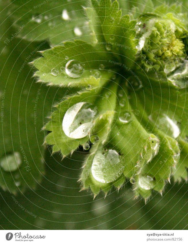 Tropfen auf Blatt Wasser grün 3 Tropfen rieseln