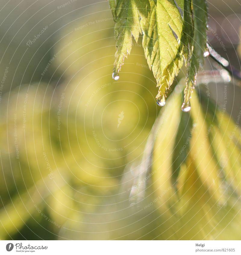 letzte Tropfen... Umwelt Natur Pflanze Wasser Wassertropfen Sommer Sträucher Blatt Ahorn Ahornblatt Garten glänzend hängen leuchten Wachstum ästhetisch
