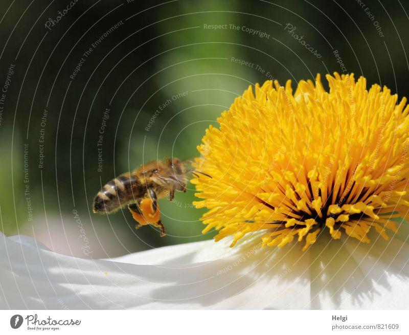 fleißige Honigsammlerin... Umwelt Natur Pflanze Sommer Schönes Wetter Blume Blüte Blütenblatt Stempel Mohnblüte Garten Tier Nutztier Biene 1 Blühend fliegen