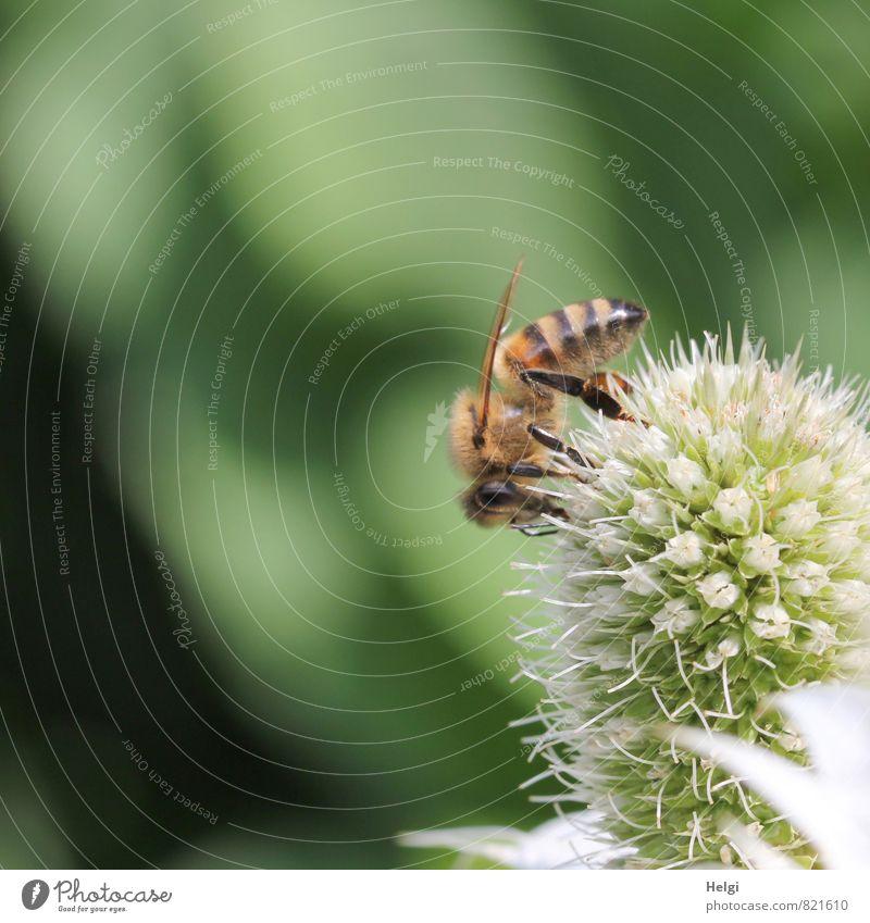 fleissig... Umwelt Natur Pflanze Tier Sommer Schönes Wetter Blume Blüte Distel Distelblüte Garten Nutztier Biene 1 Blühend ästhetisch authentisch klein