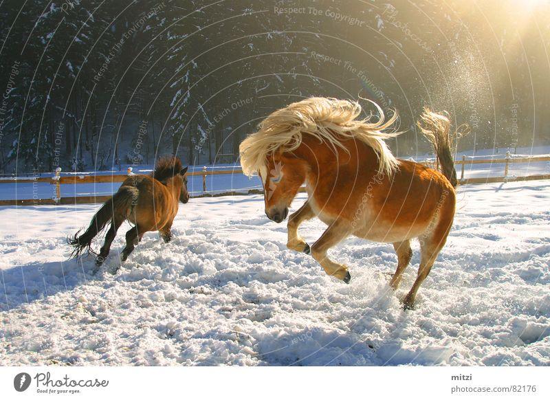 Pferde im Schnee Freude Winter Tier Leben springen Natur Lebensfreude Weide Säugetier Witz hüpfen Cowboy Pferdegangart Mähne