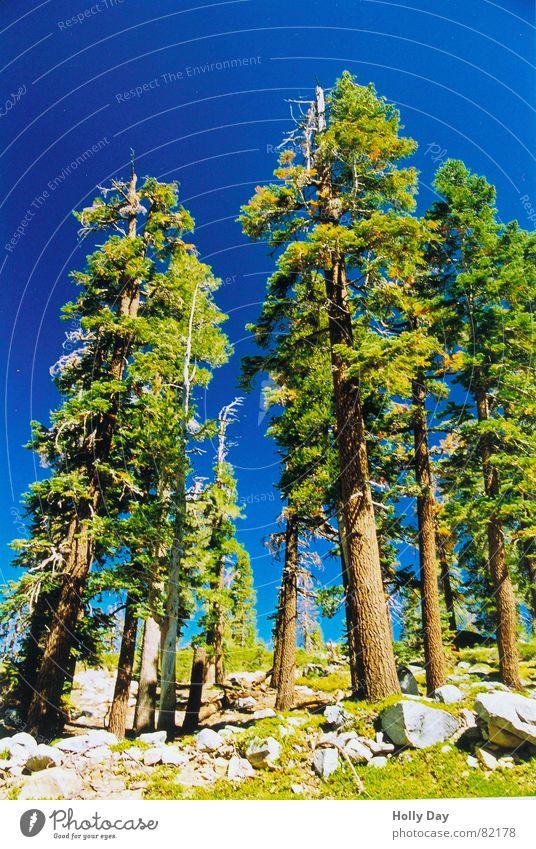 In den Himmel wachsen.. Baum Nationalpark grün Baumstamm USA Sommer in den Himmel wachsen blau Stein Perspektive Standort