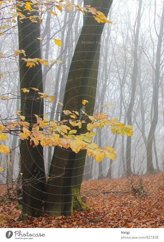 bizarr | Nebelwald Umwelt Natur Landschaft Pflanze Herbst Baum Blatt Buche Baumstamm Wald alt stehen dehydrieren Wachstum authentisch dunkel hoch natürlich