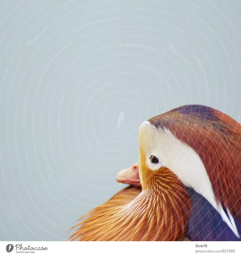 Mandarine(nte mein ich natürlich) Asiatische Küche Tier Park Wildtier Vogel Ente Mandarinente Tierporträt Feder gefiedert Schnabel 1 Schwimmen & Baden