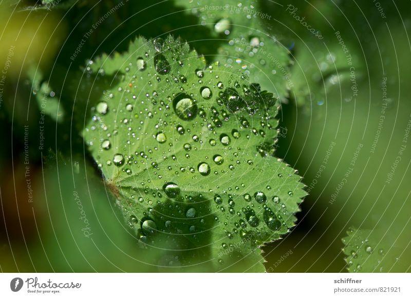 Perlensammler Umwelt Natur Pflanze Blatt nass grün Seil Tau frisch Morgen Regen hydrophob Wellness zerbrechlich Nahaufnahme Makroaufnahme Menschenleer