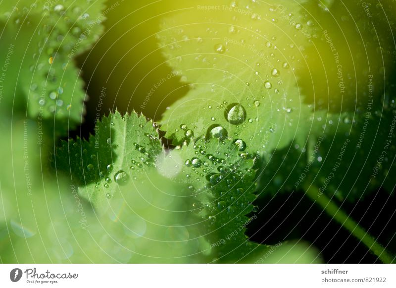 Perlensammler IV Natur Pflanze grün Wasser Blatt frisch Wassertropfen nass Seil Regenwasser Landkreis Regen Wellness zart Grünpflanze Blattgrün Blütenpflanze