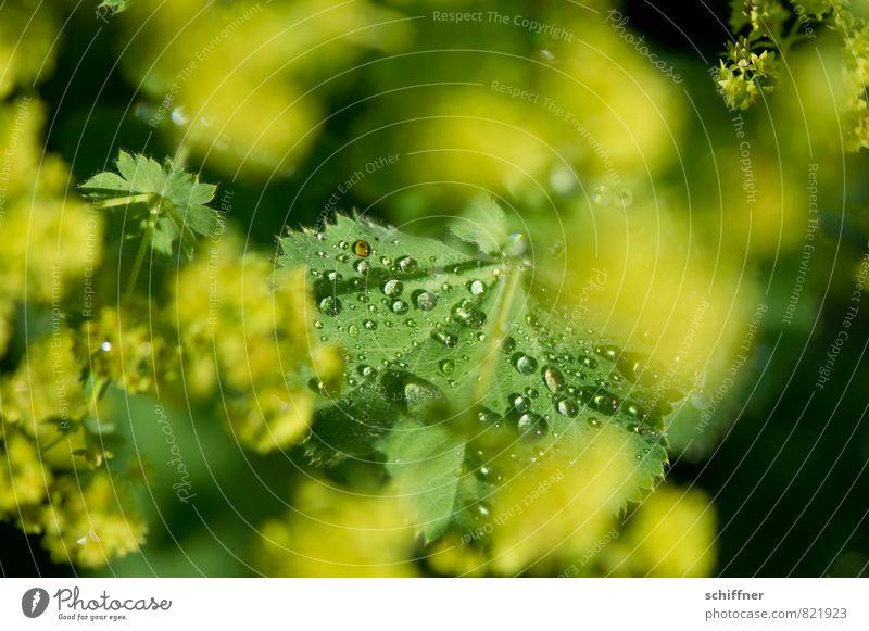 Perlensammler III Umwelt Natur Pflanze Blume Sträucher Blatt Grünpflanze nass gelb grün Tau Seil Wassertropfen tropfend Blattgrün frisch Wellness Außenaufnahme