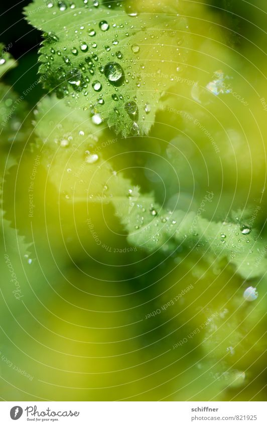 Perlensammler II Pflanze Sträucher Blatt Blüte Grünpflanze Wildpflanze frisch nass gelb grün Seil Regen Tropfen Wellness Schwache Tiefenschärfe hydrophob