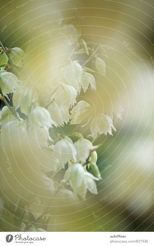 Weißgespült II Pflanze Blume Sträucher grün weiß Blüte Blütenknospen Blütenpflanze blütenblattartig Blütenblatt Außenaufnahme Detailaufnahme Makroaufnahme