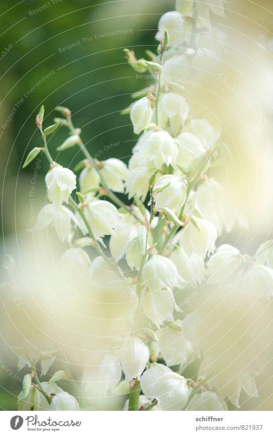 Weißgespült Natur Pflanze weiß Blume Blatt Blüte Sträucher Romantik Blütenknospen Leichtigkeit Blütenpflanze Blütenstauden blütenblattartig