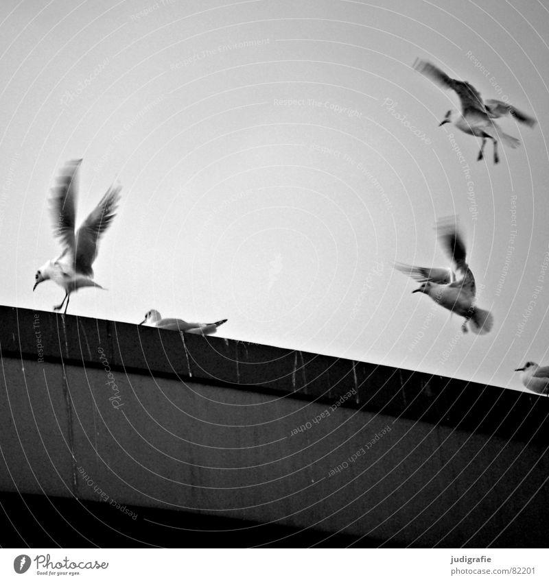 Vögel Vogeldreck Mittellandkanal Möwe Lachmöwe schwarz Wolken Schwung Hannover Federvieh flattern Umwelt Ornithologie Brückenpfeiler Freiheit Schwarzweißfoto