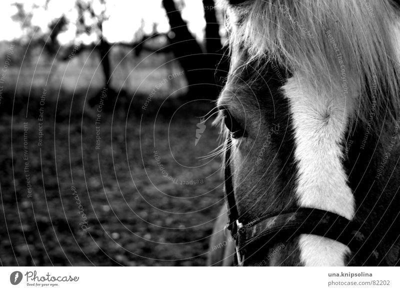 bourrin Geschirr Reitsport Umwelt Natur Feld Pony Pferd wild Halfter Weide besteigen hüh Pferdegeschirr blesse bw horse scheckig Schwarzweißfoto