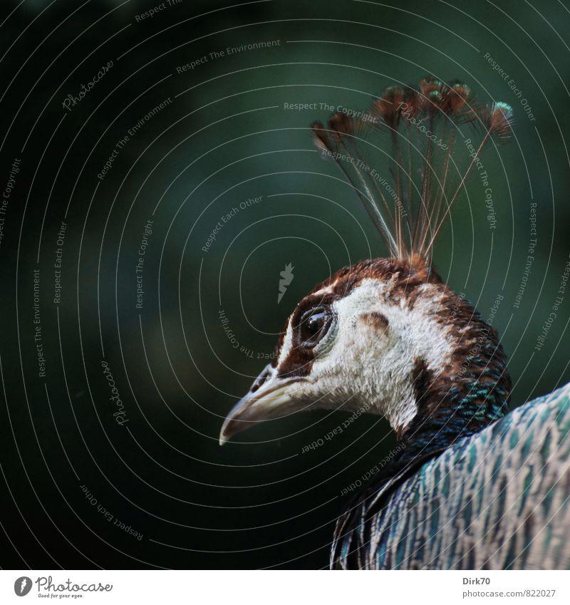 Häubchen auf dem Haupt Park Tier Haustier Vogel Pfau 1 Blick ästhetisch elegant exotisch fantastisch glänzend schön blau braun grau grün schwarz weiß Romantik
