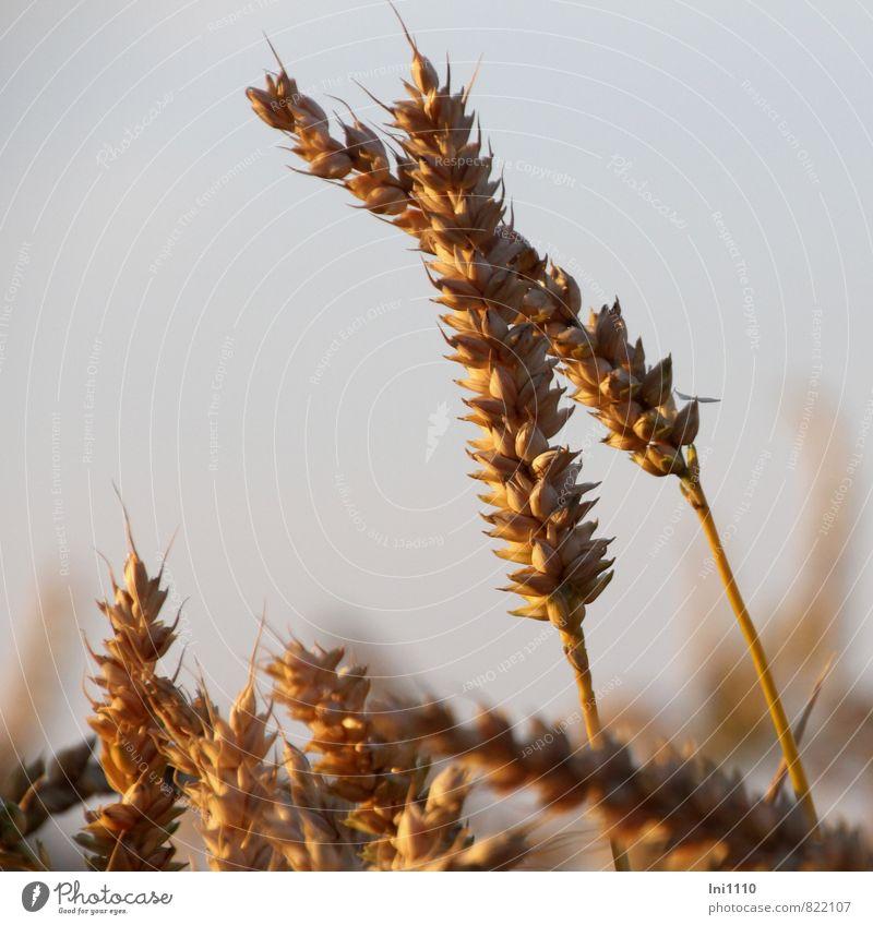 Kornähren Himmel Natur blau Pflanze schön Sommer Sonne Landschaft Umwelt gelb Gesunde Ernährung Wärme grau Gesundheit braun Luft
