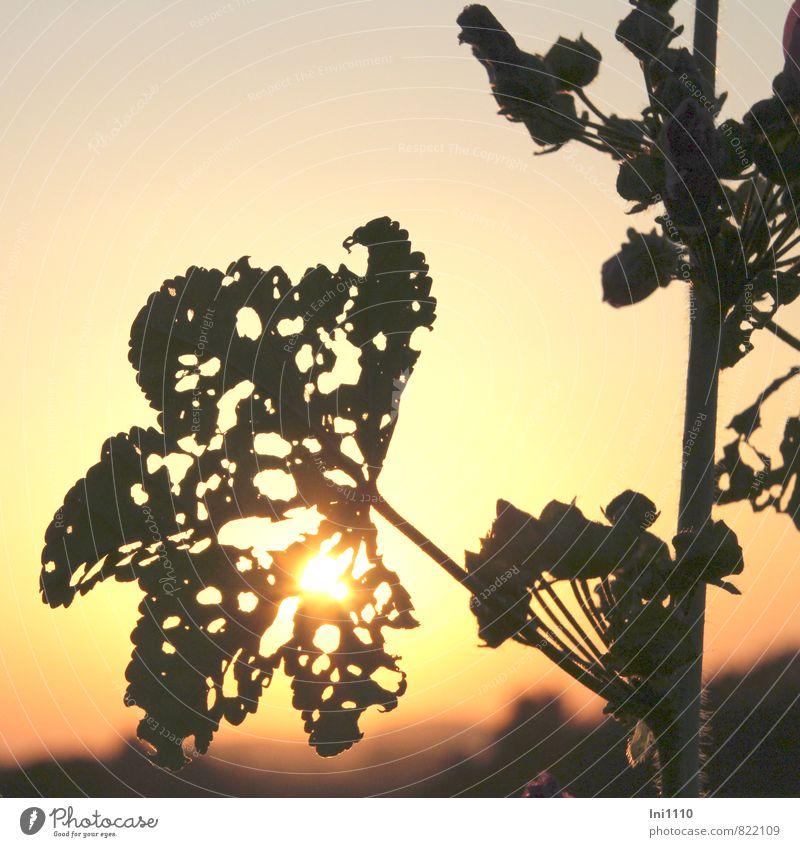 Abendstimmung Natur Landschaft Pflanze Himmel Sonne Sonnenaufgang Sonnenuntergang Sonnenlicht Sommer Wetter Schönes Wetter Wärme Blume Blatt Stockrose Garten