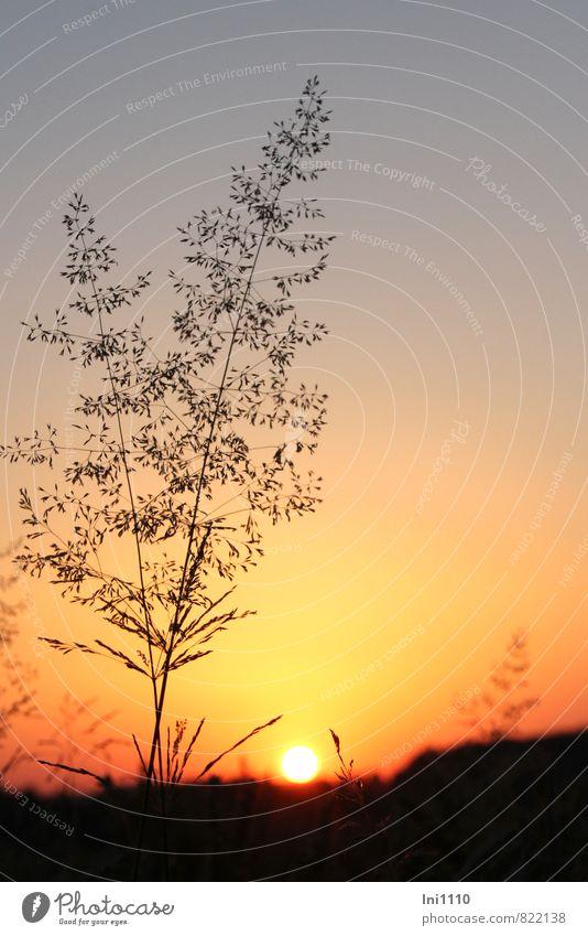 Sommerabend Natur Landschaft Pflanze Himmel Wolkenloser Himmel Sonne Sonnenaufgang Sonnenuntergang Sonnenlicht Schönes Wetter Wärme Gras Feld außergewöhnlich