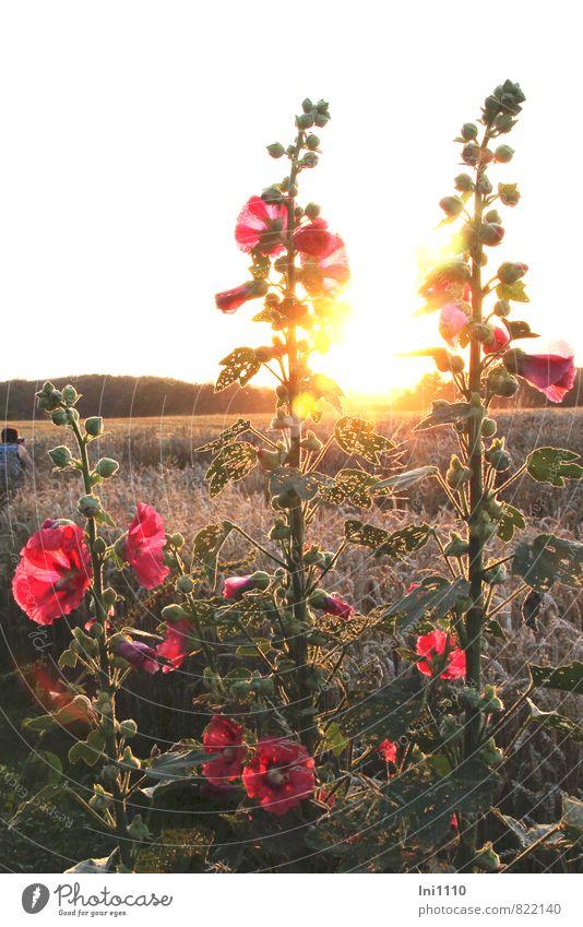 "Stockrosen Natur Landschaft Pflanze Himmel Sonne Sonnenaufgang Sonnenuntergang Sonnenlicht Sommer Schönes Wetter Wärme Blume Blatt Blüte ""Stockrosen Malven"""