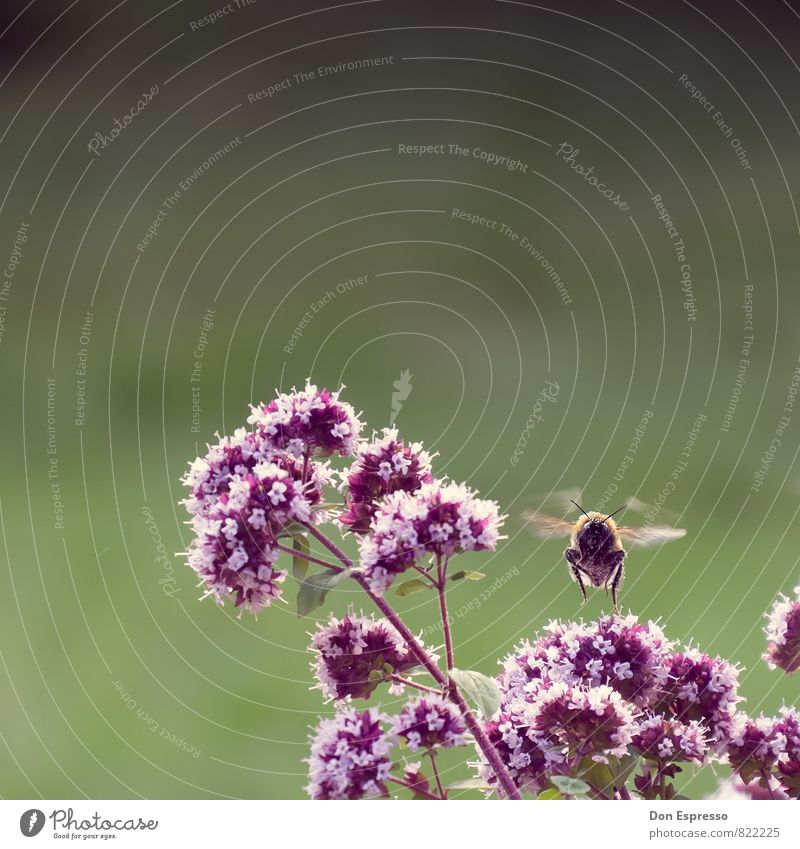 Bombus magnus Umwelt Natur Landschaft Pflanze Tier Blume Blüte Garten Park Wiese Feld Hummel 1 fliegen Blick Schweben Flügel Insekt Gedeckte Farben