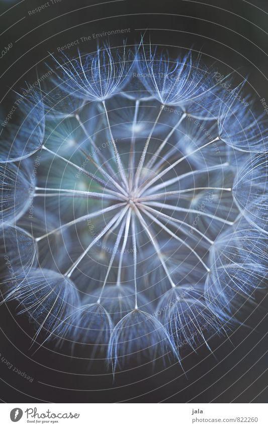 taraxacum Natur Pflanze Blume Blüte Wildpflanze Taraxacumm Löwenzahn ästhetisch außergewöhnlich dunkel elegant schön weich Farbfoto Außenaufnahme Menschenleer
