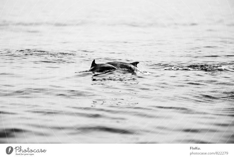 Delphine vor Teneriffa Ferien & Urlaub & Reisen Tourismus Ausflug Abenteuer Freiheit Safari Sommerurlaub Meer Wellen Tier Wildtier Fisch Meeressäuger 2 Tierpaar