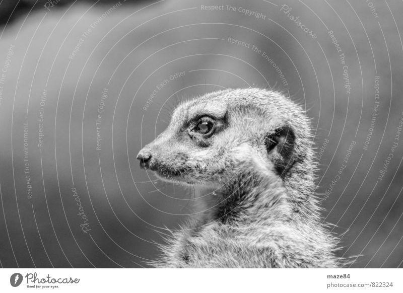 Erdmännchen Portrait Tier Ferne Leben Gefühle Glück Stein träumen Zufriedenheit Wildtier Zukunft Lebensfreude Sicherheit Ziel Mut Zoo selbstbewußt