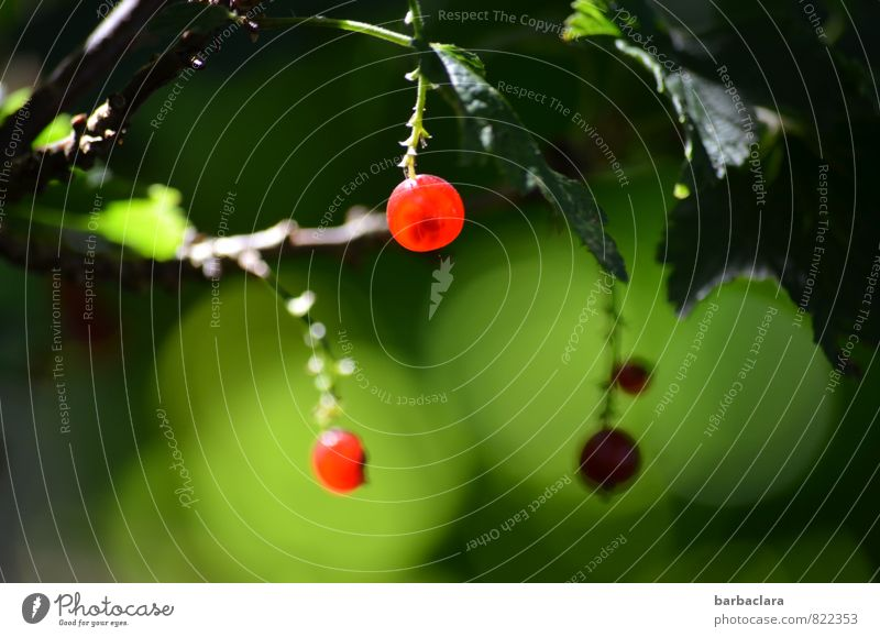 leuchtendes Früchtchen Natur Pflanze Sommer Sträucher Blatt Nutzpflanze Johannisbeeren Frucht Garten hängen Gesundheit gut klein saftig sauer grün rot genießen