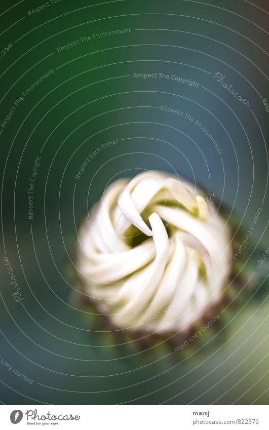 Irgendwie verdreht Natur Pflanze weiß Sommer Blume dunkel Traurigkeit Blüte Frühling natürlich Linie Zusammensein Wachstum elegant geschlossen Blühend