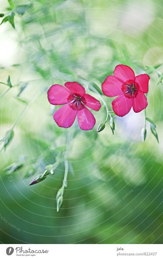 pink Natur Pflanze schön Sommer Blume Blatt Umwelt Blüte Wiese Garten ästhetisch