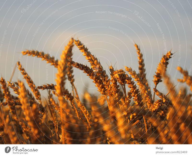 im Abendlicht... Umwelt Natur Landschaft Pflanze Himmel Wolken Sommer Schönes Wetter Nutzpflanze Getreide Weizen Kornfeld Ähren Feld leuchten stehen Wachstum