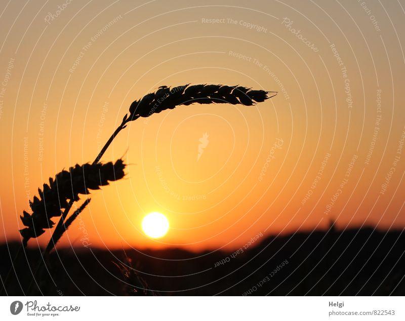 Doppelkorn... Umwelt Natur Landschaft Pflanze Wolkenloser Himmel Sonne Sommer Schönes Wetter Nutzpflanze Getreide Kornfeld Ähren Weizen Feld leuchten stehen