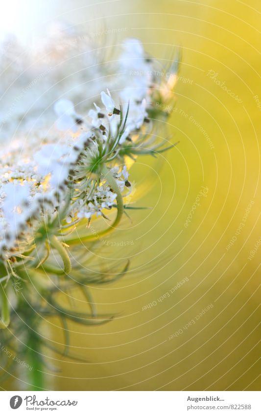 Blütenzauber... Natur Sonnenaufgang Sonnenuntergang Sonnenlicht Sommer Blume Gras Wildpflanze Wiese Feld Wärme gelb grün weiß schön Duft Erholung Freiheit