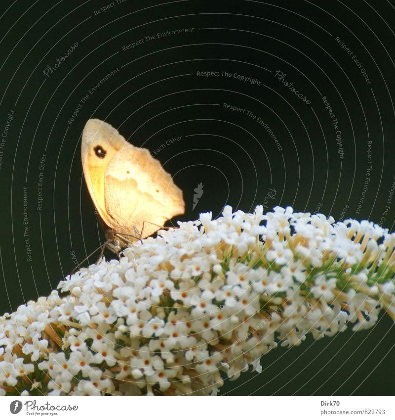 Ochsenauge im letzten Abendlicht Tier Sonnenlicht Sommer Schönes Wetter Pflanze Sträucher Blüte Sommerflieder Garten Wildtier Schmetterling Flügel 1 Duft Essen