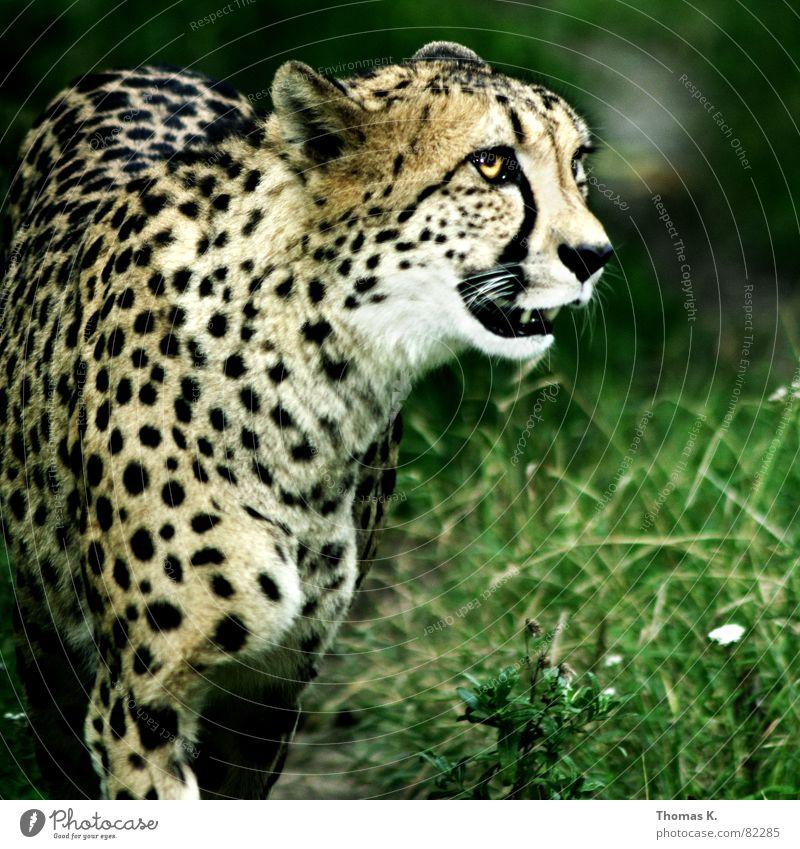 Der  Kandidat hat 99 Punkte... Kopf bedrohlich Tiergesicht Gebiss Aggression Maul Landraubtier Raubkatze Gepard