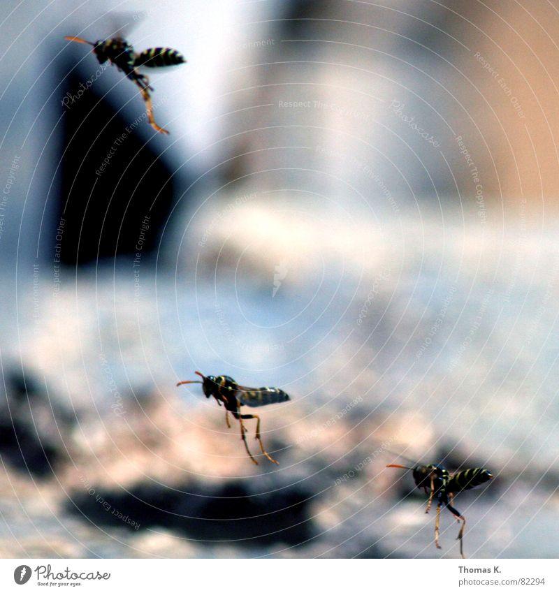 ANGRIFF DER KILLERWESPEN !!! Wespen Formationsflug Hautflügler kommandieren Geschwader Insekt langbeinig gelb schwarz Fühler stechen Biene Tiefenschärfe Mörder
