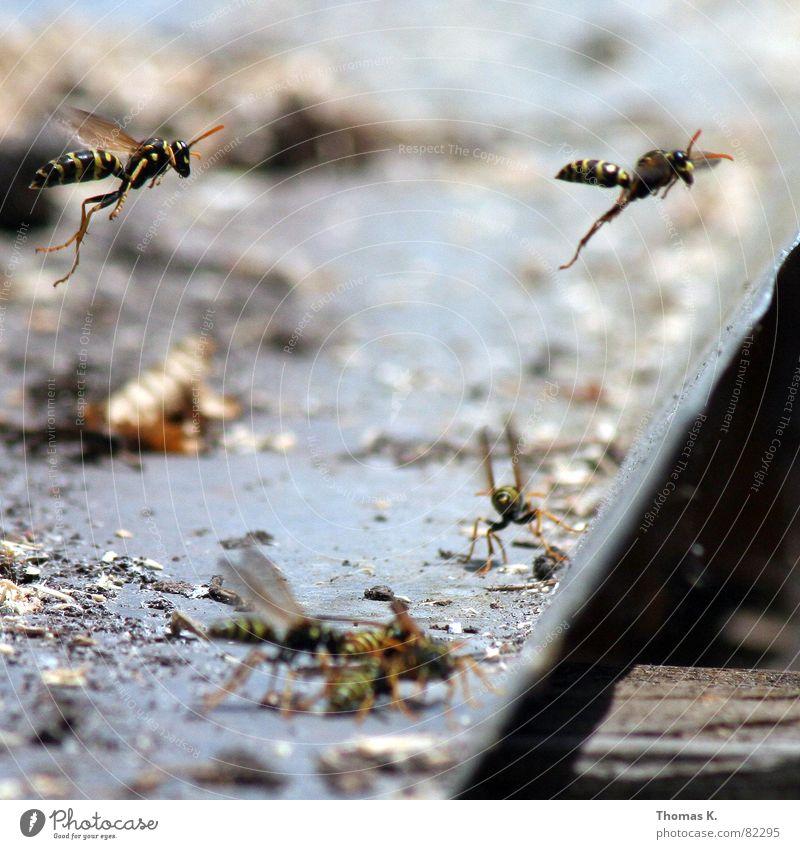 MISSION ACCOMPLISHED !!! schwarz gelb Beine Flügel Biene Insekt Tiefenschärfe Fühler Formation stechen Stachel Wespen Mörder Stich Hautflügler kommandieren