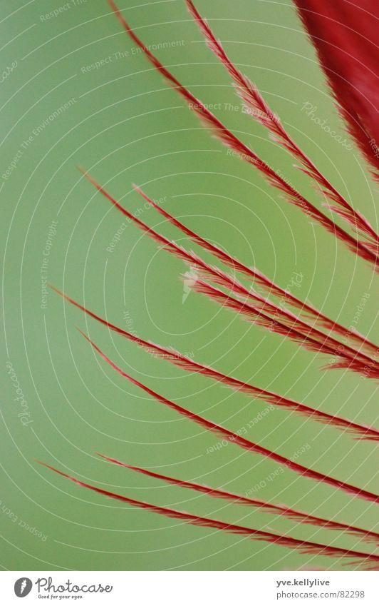 Feder rot grün nah Makroaufnahme Strukturen & Formen weich Nahaufnahme Detailaufnahme Teile u. Stücke