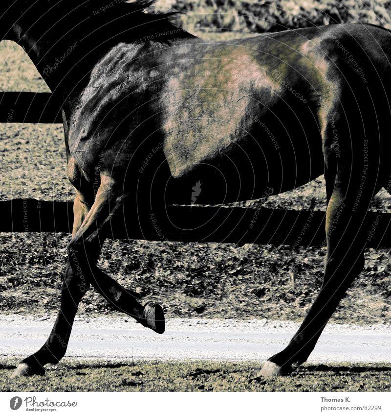 Fleckvieh Tier laufen Pferd Fell Zaun Säugetier Anschnitt Bildausschnitt scheckig Pferdegangart Pferch Nutztier Zugtier Rappe