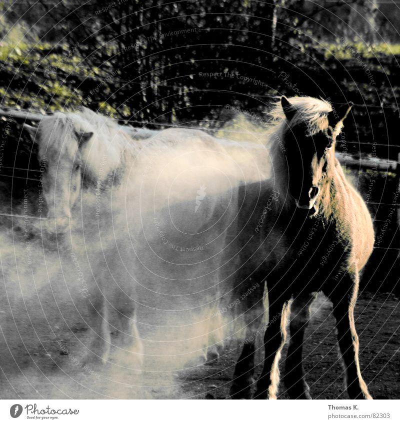 Fauna und Flora Staubwolke Pferd Mähne Tier Zugtier Säugetier Nutztier Blick in die Kamera stehen Tierpaar 2 Außenaufnahme Neugier Pferch Schimmel staubig Ponys