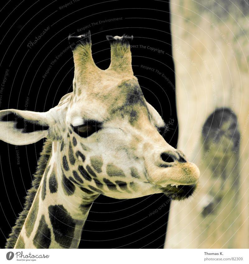 """Herr Carlitos, ist der Titel """"Fleckvieh"""" hier angebracht ? schön Baum schwarz Tier Auge Traurigkeit braun Nase Trauer Ohr Wunsch Afrika Baumstamm Horn Fleck Hals"""