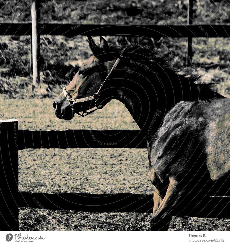 Hüa, Pferti, Hüa !! Tier laufen Pferd Fell Zaun Fleck Säugetier Anschnitt Bildausschnitt scheckig Pferdegangart Pferch Mähne Nutztier eingezäunt Zugtier