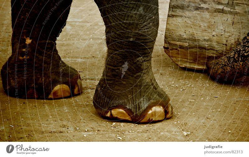 Elefant Tier Arbeit & Erwerbstätigkeit Holz Haare & Frisuren Fuß Haut groß Asien Zoo Falte Baumstamm Säugetier schwer Rüssel