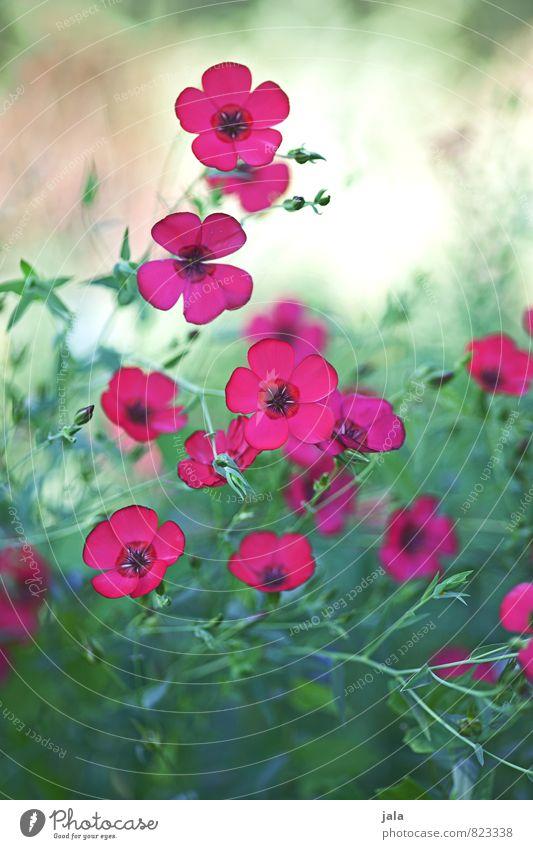 pink Umwelt Natur Pflanze Blume Gras Blüte Garten Wiese ästhetisch natürlich schön Farbfoto mehrfarbig Außenaufnahme Menschenleer Tag
