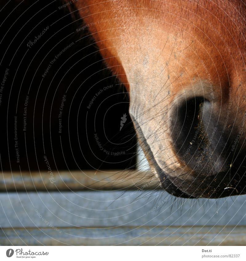 Nasenhaar Tier Fell Pferd Tiergesicht 1 atmen nah Neugier schön Wärme weich braun schwarz Pferdezucht Reiterhof Nüstern Stall Atem Säugetier Maul Farbfoto