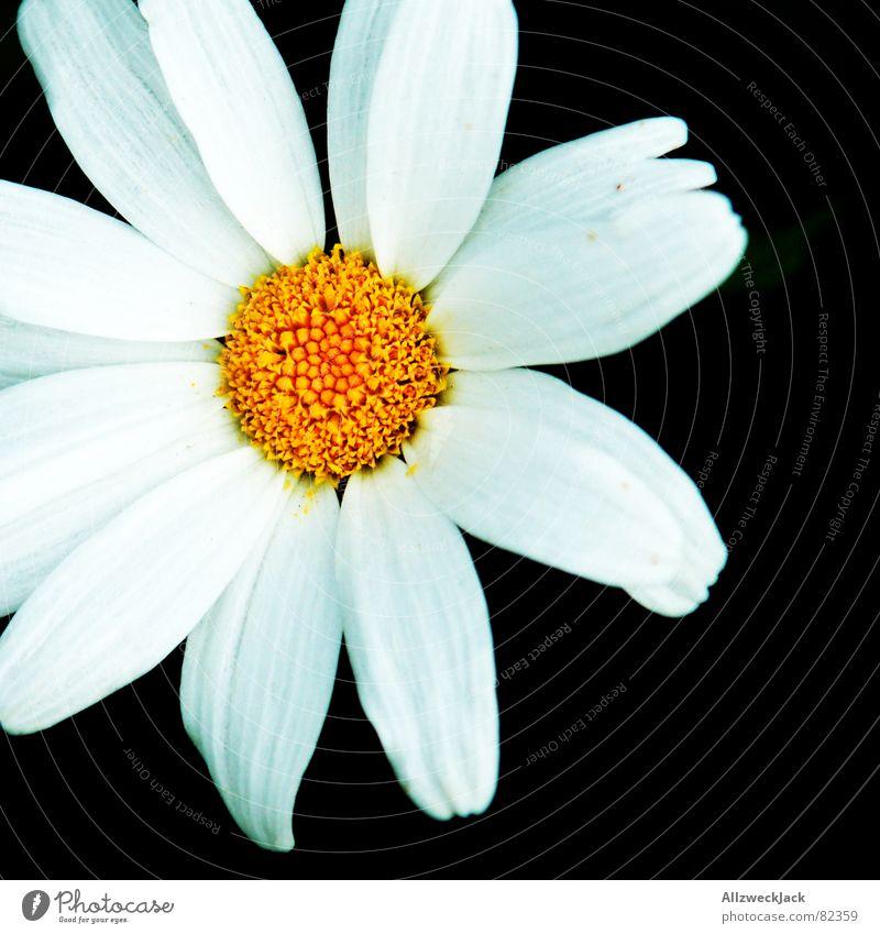 (An)Schnittblume schön Sommer Pflanze Blume schwarz Frühling Blüte Blumenstrauß Anschnitt Blütenblatt Valentinstag Vor dunklem Hintergrund