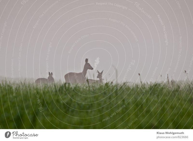 Frühnebel 1 Umwelt Natur Tier Sommer Nebel Gras Wiese Feld Wald Wildtier Tiergesicht Fell Reh Rehkitz Ricke 3 Tierjunges Tierfamilie beobachten Fressen grau