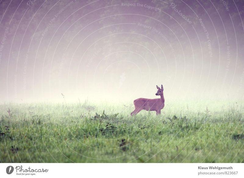 Morgennebel 2 ( Mama passt auf ) Umwelt Natur Tier Sommer Herbst Nebel Gras Wiese Feld Wald Wildtier Fell Reh Ricke 1 beobachten Fressen Blick braun grau grün